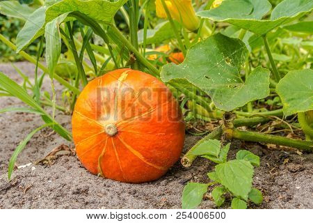 Ripe Pumpkins Growing In Outdoor Garden Ready For Harvest
