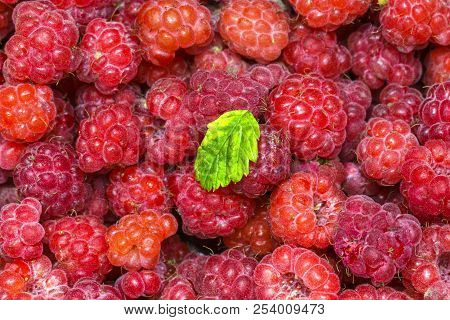 Wild Wild Raspberries Collected In The Forest From Wild Shrubs Macro