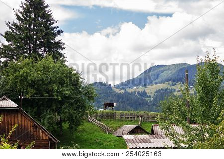 A Cow On A Hill In A Mountain Village, Carpathians, Verkhovyna, Ukraine
