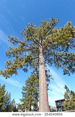 A Coniferous Tree From Down Below Against Blue Background.