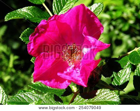 Bright pink purple beach rose flower with shiny leathery leaves closeup