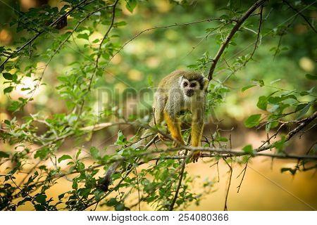 Common Squirrel Monkey (saimiri Sciureus) Walking On A Tree Branch.  Monkey On A Branch In The Rainf