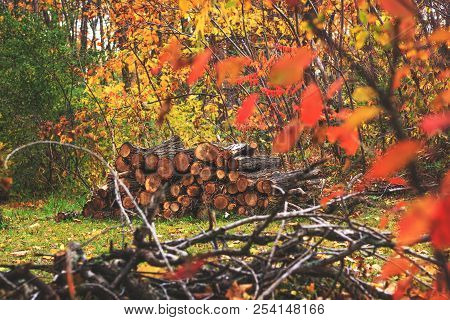 Pile Of Wood In Autumn Forest Landscape. Heap Of Cut And Stacked Woods. A Pair Of Piled Up Logs Read