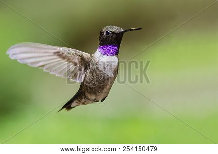 Black-chinned Hummingbird With Throat Aglow While Hovering In Flight