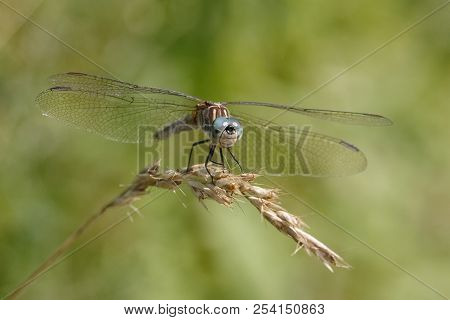 Blue Dasher Dragonfly (pachydiplax Longipennis) Perched On A Grass Plant - Ontario, Canada