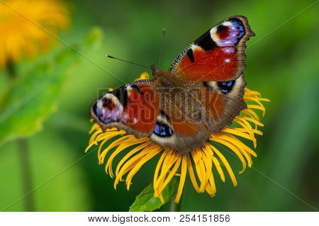 European Peacock Butterfly Sitting On A Yellow Flower With Green Background In A Summer Time And Sun