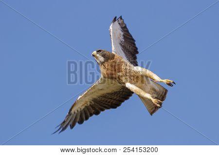 Sawinson's Hawk In Flight In Clear Blue Sky