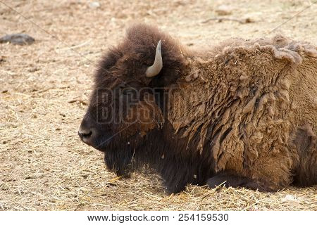 American Bison Laying In Grass Hay. The American Bison, Known As The American Buffalo Or Simply Buff