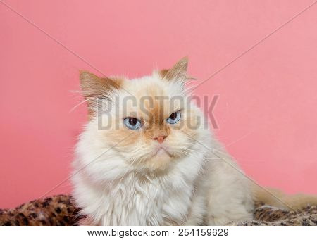 Close up portrait of a cream colored Peke-face Persian, which has an extremely flat face. Looks like a grumpy cat. Pink background poster