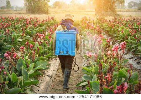 Planter Spraying Pesticide In Partition Canna At Sunset.