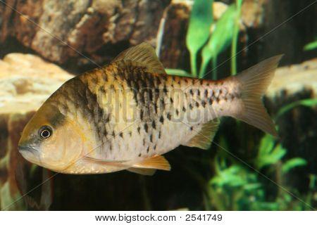 Spanner Barb Fish.