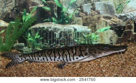 Lima Shovel-Nosed Catfish