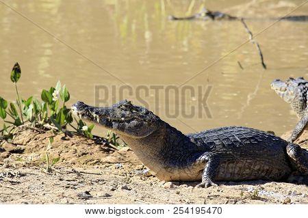 Yacare Caimans (caiman Yacare) On River Bank. Rio Claro, Pantanal, Brazil