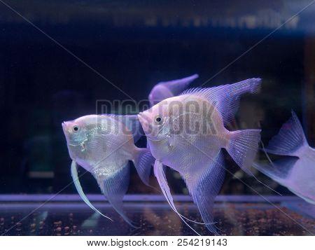 Beautiful White Angel Fish Swim In Aquarium Tank Pet With Copy Space.