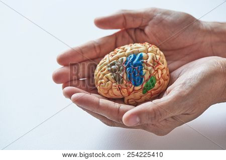 Two Hands Holding Brain Model In Concept Of Taking Care The Brain