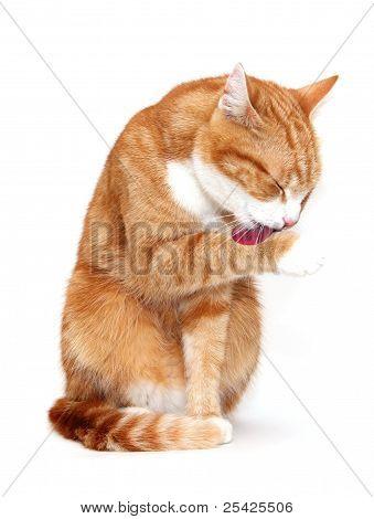 Grooming Tom Cat