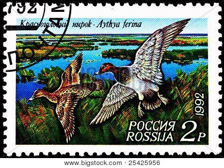 Common Pochard Duck, Aythya Ferina Flying Over Marsh