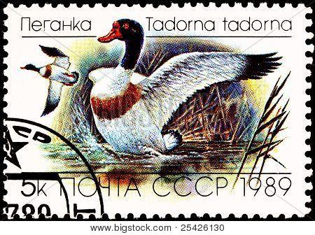 Flying Common Shelduck, Tadorna Tadorna