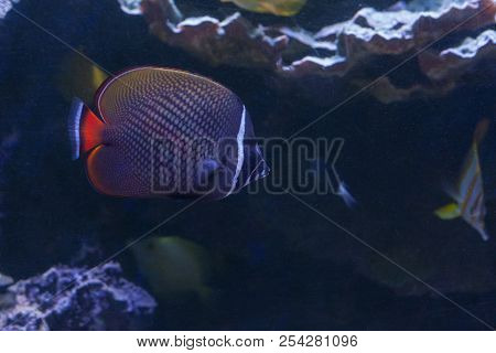 The Red-tailed Butterflyfish Or Redtail Butterflyfish ,chaetodon Collare Swimming Inside Aquarium .