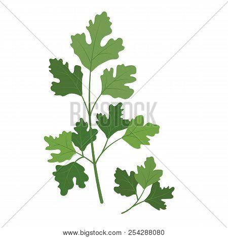 Nature Organic Vegetable Cilantro Coriander, Healthy Vector Colorful Food Vegetable Spice Ingredient