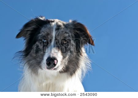 Portrait of a bluemerle border collie against blue sky poster