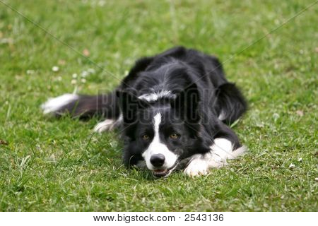 Border Collie Lying