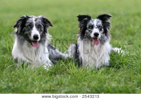 A pair of bluemerle border collies on a grass poster