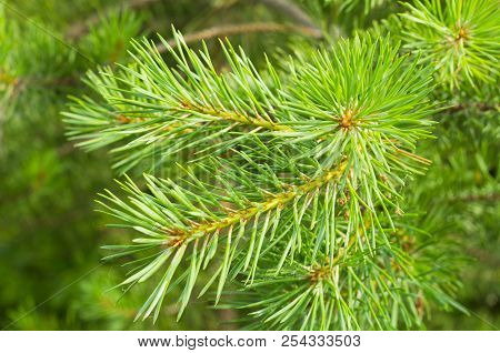 The Afforestation. Young Spruce And Pine Regrowth Grew On Plot With Sandy Soil. Small Trees In Summe