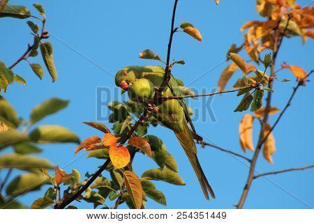 Collar Parakeet Is Eating From An Apple In A Tree In Nieuwerkerk Aan Den Ijssel In The Netherlands