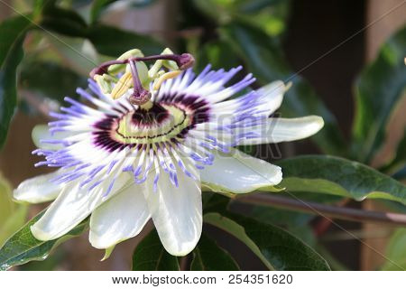 Passion Flower Passiflora In Close-up In A Garden In The Netherlands
