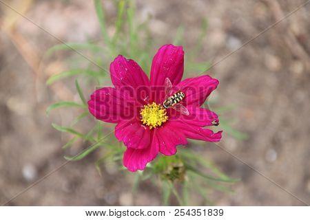 Cosmea Flower In The Wild Nature In A Garden In Nieuwerkerk Aan Den Ijssel In The Netherlands