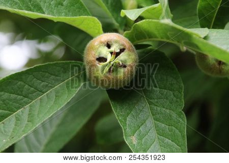 Medlar On A Plant In A Greenhouse Nursery In Moerkapelle In The Netherlands
