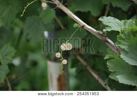 White Currant Berries In A Greenhouse Nursery In Moerkapelle In The Netherlands.