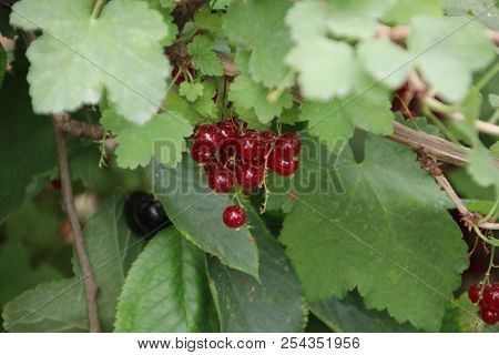 Red Currant Berries In A Greenhouse Nursery In Moerkapelle In The Netherlands.