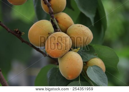 Plum Fruits On A Plant In A Greenhouse Nursery In Moerkapelle In The Netherlands