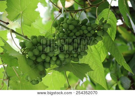 White And Blue Grapes In A Greenhouse In Moerkapelle In The Netherlands.