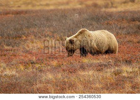 Grizzly Bear In Alaskan Tundra In Denali National Park