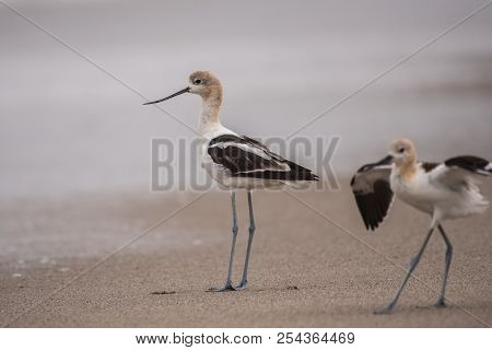 American Avocet Marine Bird Standing Along Surfline Foraging For Morning Food.