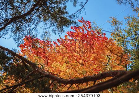 Bright Scenic Of Bright Vivid Colorful Autumn Branches Of Maple On Background Of Sky, Fall. Natural
