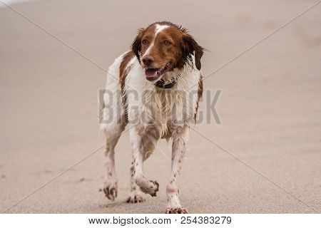 Content Britney Spaniel Dog Trotting Across The Beach Wet From Playing In The Water.