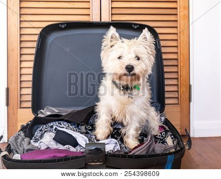 Pet Friendly Accommodation: Scruffy West Highland White Terrier Westie Dog In Packed Suitcase Luggag