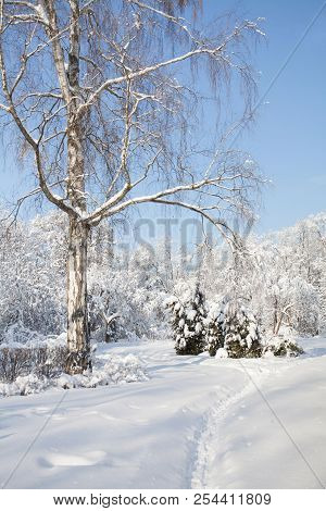 Big Birch Tree With Snow Covered Branches, Beautiful Winter Forest Landscape, Cold January Sunny Day