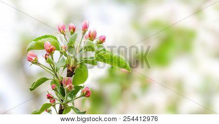 Apple Tree Flower Blossom Macro View. Blossoming Pink Petals Fruit Tree Branch, Tender Blurred Bokeh