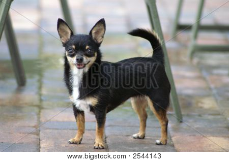 Toy Chihuahua