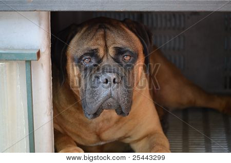 Mastiff - large dog resting in its dog house poster