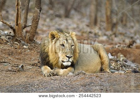 Asiatic Lion or Panthera leo persica, resting in the forest at Gir National Park Gujarat, India poster