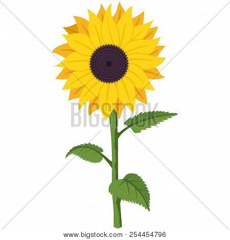Sunflower Vector Cartoon Flat Illustration Of A Garden Summer Flower On A Stem With Green Leaves Iso