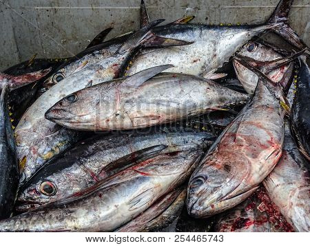 some freshly caught Yellowfin Tunas in Atlantic Ocean. big box full of fresh tunas discharged from an industrial fishing boat. poster