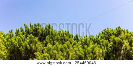 Bright green tops of pine trees on blue sky background