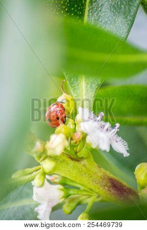 Ladybug Over A Leaf